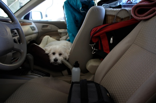 Dog in Packed Car